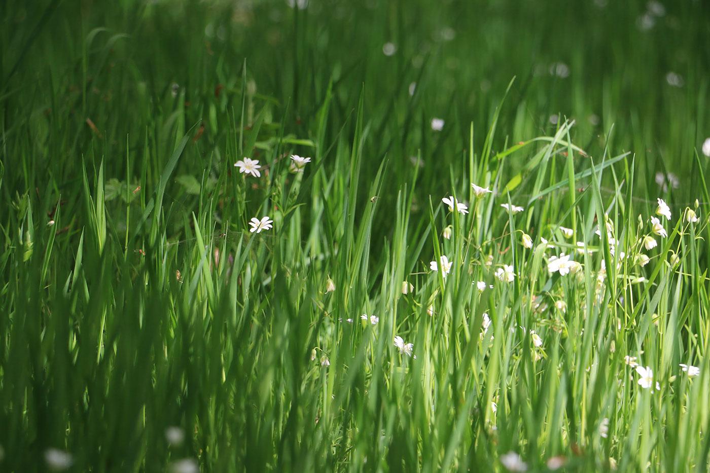 små vita blommor i lång gräsmatta