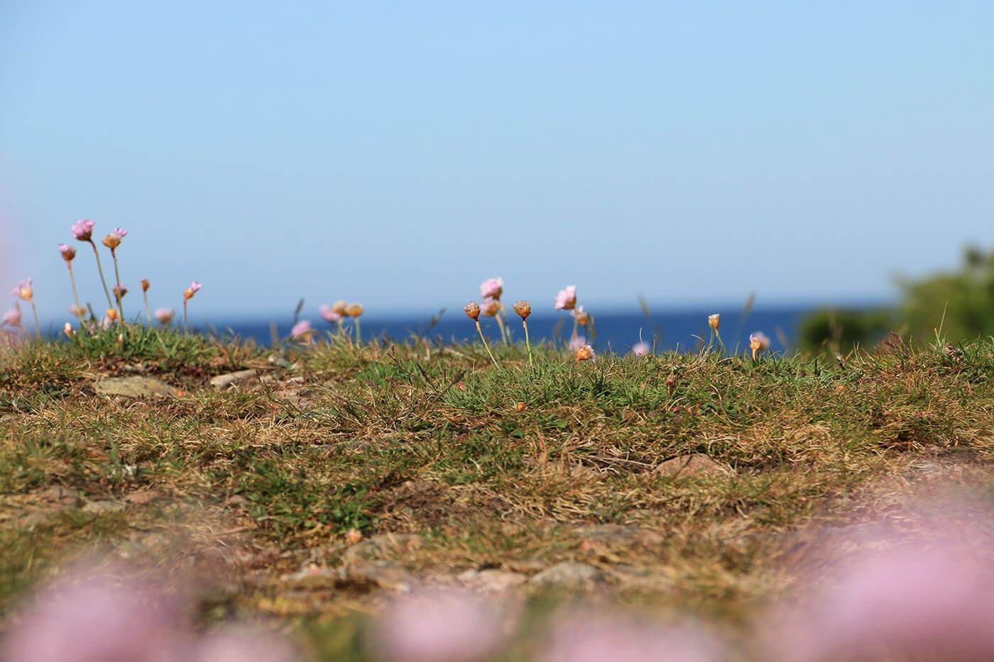 trift blomma vid havet