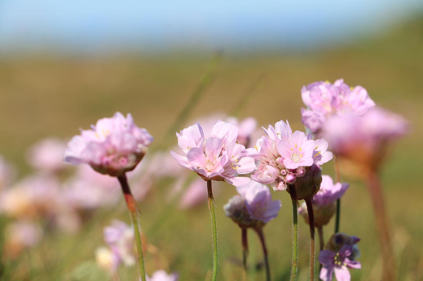 trift blomma vid kusten