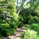 Stig vid blommande rhododendronbuskar i park Halmstad