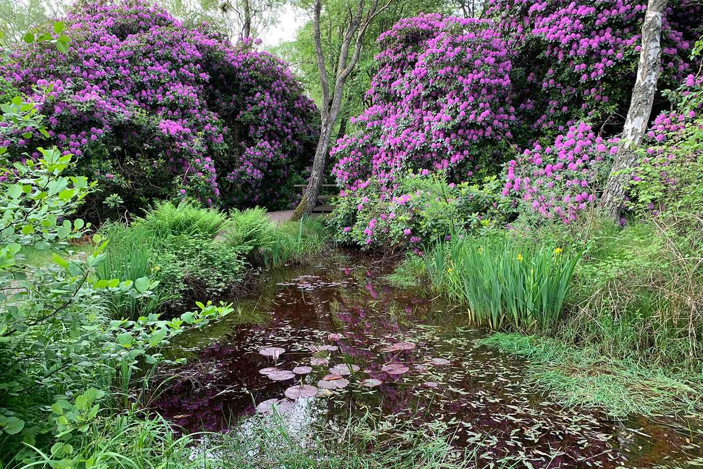 Damm vid blommande rhododendronbuskar i park Halmstad