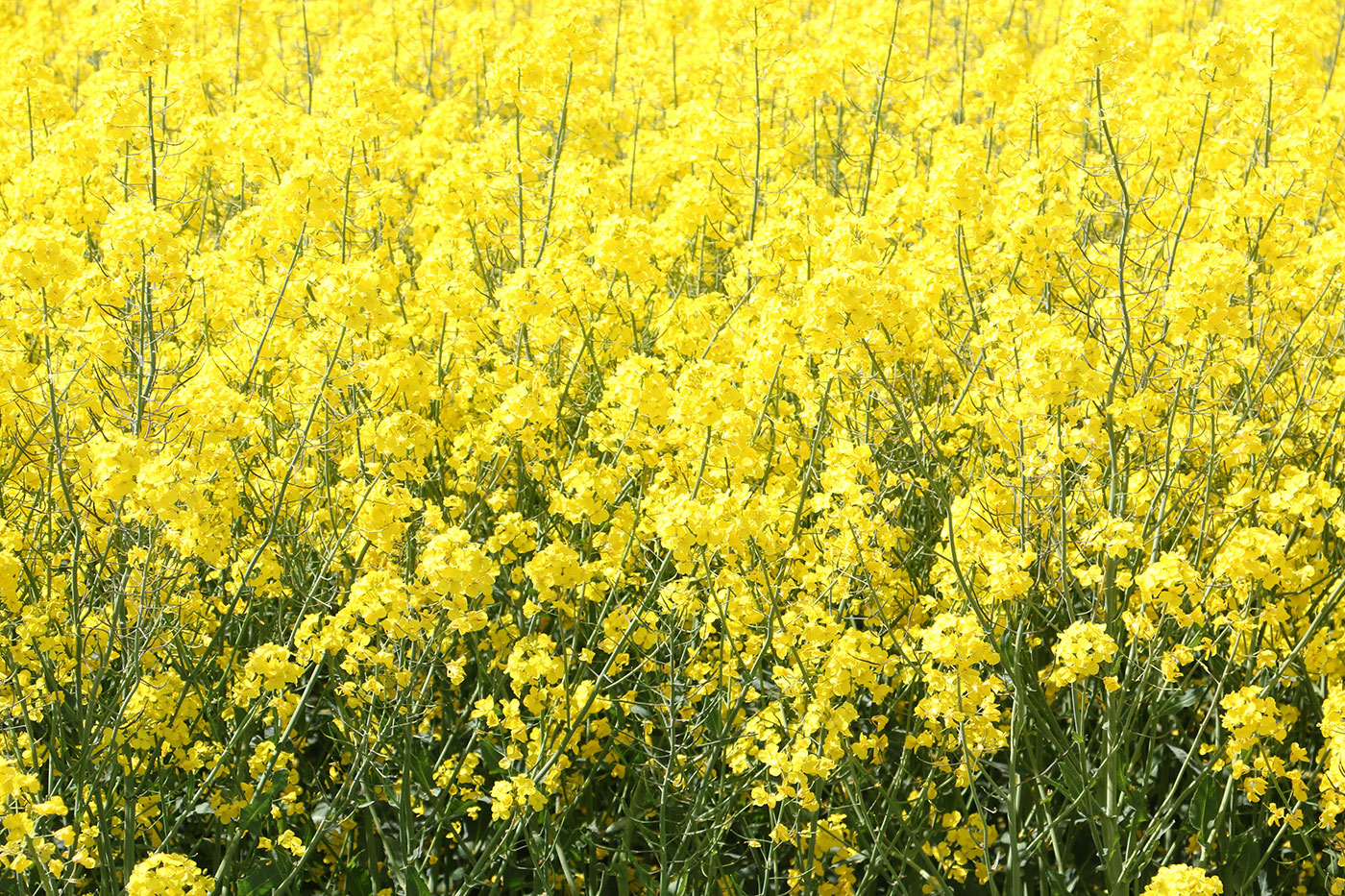 rapsfält, gula blommor