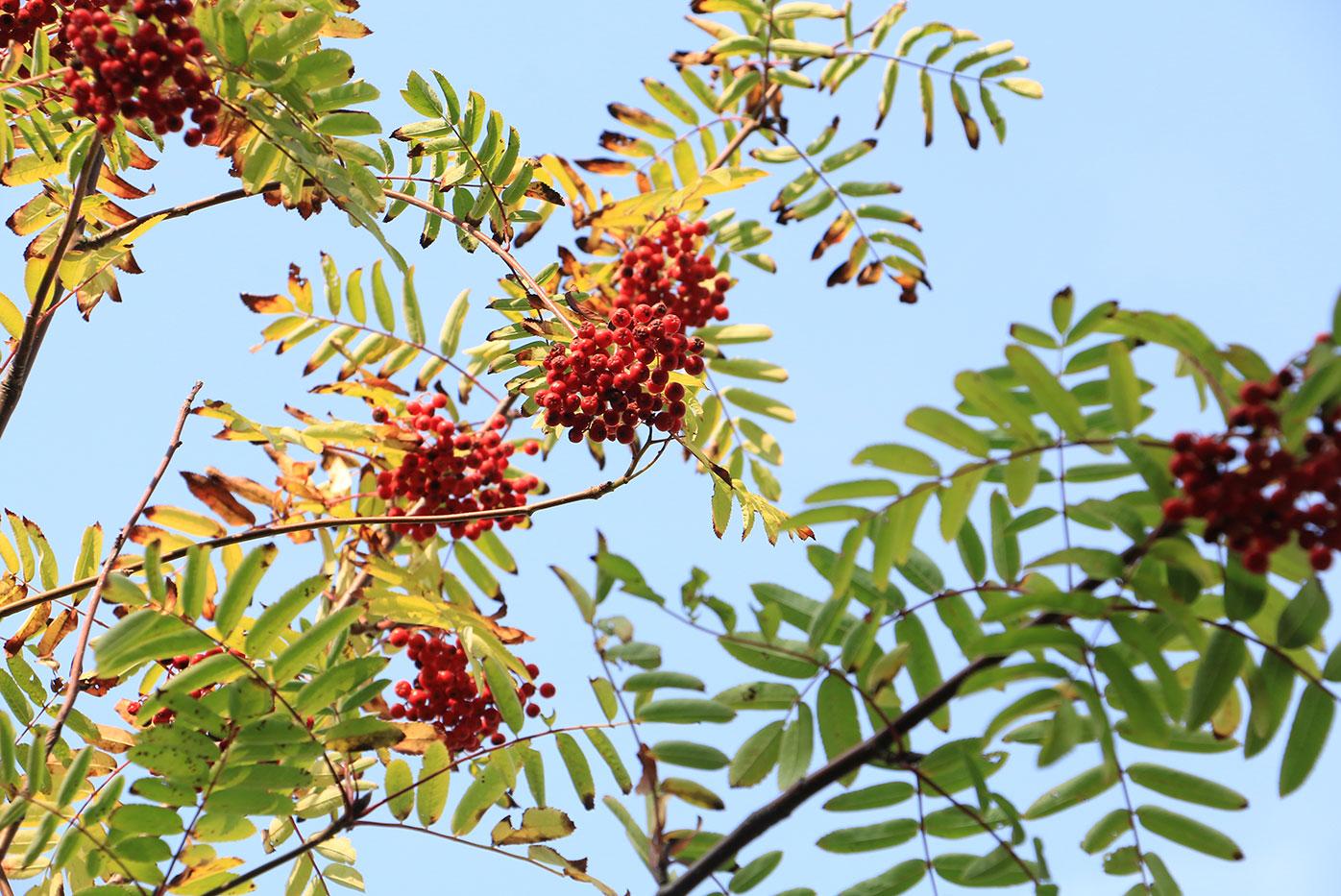 Rönn i träd mot blå himmel