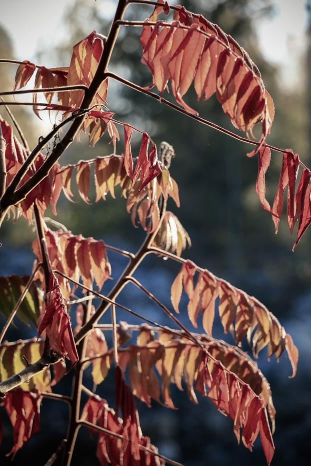 Röda rönnblad i oktoberträdgården