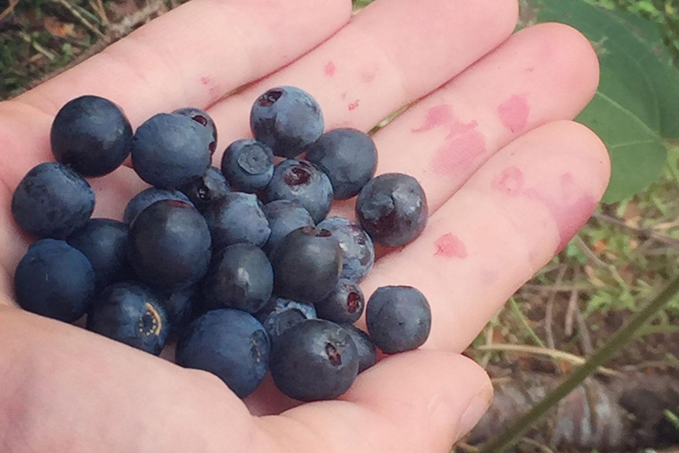 I blåbärsskogen en hand med blåbär